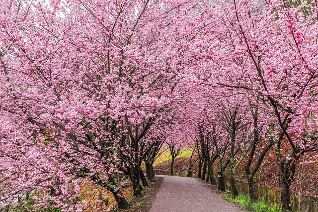 Hướng dẫn cách đi đến các điểm ngắm hoa anh đào đẹp nhất ở Đài Loan